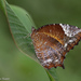 Tailed Palmfly - Photo (c) risonkj, some rights reserved (CC BY-NC)