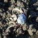 Mictyris brevidactylus - Photo (c) 葉子, osa oikeuksista pidätetään (CC BY-NC-ND)
