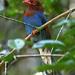 Urraca Cingalesa - Photo (c) David Cook, algunos derechos reservados (CC BY-NC)