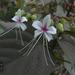 Clerodendrum infortunatum - Photo (c) Dinesh Valke, algunos derechos reservados (CC BY-NC-ND)