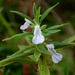 Leucas aspera - Photo (c) Jayesh Patil, μερικά δικαιώματα διατηρούνται (CC BY-NC-ND)