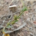 Wingless Fissure-Plant - Photo (c) naturehoodz, some rights reserved (CC BY-NC)