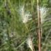 Andropogon perangustatus - Photo (c) Jay Horn, algunos derechos reservados (CC BY)