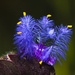 Cyanotis tuberosa - Photo (c) Caesar,  זכויות יוצרים חלקיות (CC BY-NC-SA)