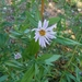 Leafy-bract Aster - Photo (c) amandahl, some rights reserved (CC BY-NC)