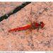 Diplacodes haematodes - Photo (c) Wayne Robinson, algunos derechos reservados (CC BY-SA)
