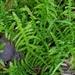 Pseudoscleropodium purum - Photo (c) Ben Keen,  זכויות יוצרים חלקיות (CC BY)