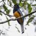 Trogón Coliblanco Oriental - Photo (c) Diogo Luiz, algunos derechos reservados (CC BY-SA)