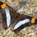 Adelpha iphicleola iphicleola - Photo (c) Erick Noe Tapia Banda,  זכויות יוצרים חלקיות (CC BY-NC)
