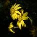 Farfugium japonicum - Photo (c) 葉子, algunos derechos reservados (CC BY-NC-ND)