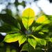 Heptapleurum heptaphyllum - Photo (c) 葉子, algunos derechos reservados (CC BY-NC-ND)