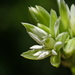 Drymaria cordata - Photo (c) 葉子,  זכויות יוצרים חלקיות (CC BY-NC-ND)