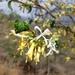 Turraea pubescens - Photo (c) geofflot, μερικά δικαιώματα διατηρούνται (CC BY-NC)