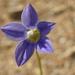 Wahlenbergia violacea - Photo (c) Rowan Hindmarsh-Walls, algunos derechos reservados (CC BY-NC)