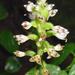 Aspidogyne - Photo (c) wilsonpni, some rights reserved (CC BY-NC)
