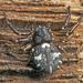 Tharpyna decorata - Photo (c) tjeales, algunos derechos reservados (CC BY-SA)
