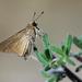 Baorini - Photo (c) Zeynel Cebeci, algunos derechos reservados (CC BY-SA)