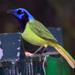 Urracas Panamericanas - Photo (c) Charles Lam, algunos derechos reservados (CC BY-SA)