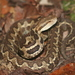 Wilson's Montane Pitviper - Photo (c) Josiah Townsend, some rights reserved (CC BY-NC-ND)
