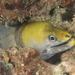 Yellow-headed Moray - Photo (c) Mark Rosenstein, some rights reserved (CC BY-NC-SA)