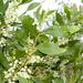 Acacia penninervis - Photo (c) Gordon Claridge, osa oikeuksista pidätetään (CC BY-NC)