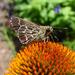 Amblyscirtes aesculapius - Photo (c) pondhawk, μερικά δικαιώματα διατηρούνται (CC BY)