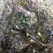 Petalonia fascia - Photo (c) rickt, alguns direitos reservados (CC BY-NC)