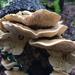 Lenzites betulina - Photo (c) Ellen Hensel,  זכויות יוצרים חלקיות (CC BY-NC)