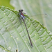 Teinopodagrion - Photo (c) Jim Johnson, some rights reserved (CC BY-NC-ND)