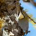 Sitta europaea baicalensis - Photo (c) alexdersu, algunos derechos reservados (CC BY-NC)