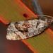 Asthenoptycha conjunctana - Photo (c) Jim Duggan, some rights reserved (CC BY-SA)