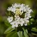 Rhododendron columbianum - Photo (c) randomtruth,  זכויות יוצרים חלקיות (CC BY-NC-SA)