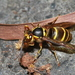 Taiwan Yellowjacket - Photo (c) jung2688, some rights reserved (CC BY-NC)