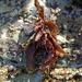 Mastocarpus papillatus - Photo (c) kqedquest, osa oikeuksista pidätetään (CC BY-NC)