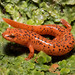 Red Salamander - Photo (c) Saunders Drukker, some rights reserved (CC BY-NC)