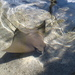 Cownose Ray - Photo (c) Denise, some rights reserved (CC BY-NC)