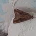 Hypena laceratalis