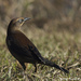 Rusty and Brewer's Blackbirds - Photo (c) leppyone, some rights reserved (CC BY)