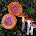 American Fly Agaric - Photo (c) dgreenberger, some rights reserved (CC BY-NC-ND)