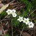 Oxalis tenuifolia - Photo (c) Marco Schmidt, alguns direitos reservados (CC BY-NC-SA)
