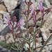 Linaria saturejoides - Photo (c) Felix Riegel, algunos derechos reservados (CC BY-NC)