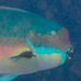 Steephead Parrotfish - Photo (c) Mark Rosenstein, some rights reserved (CC BY-NC-SA)