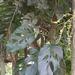 Monstera adansonii laniata - Photo (c) rozilber, μερικά δικαιώματα διατηρούνται (CC BY-NC)