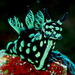 Nembrotha - Photo (c) Steve Childs, some rights reserved (CC BY)
