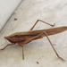 Broad-tipped Conehead - Photo (c) Jessica, some rights reserved (CC BY)
