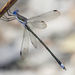 Great Spreadwing - Photo (c) Jim Johnson, some rights reserved (CC BY-NC-ND)