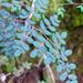 Pellaea andromedifolia - Photo (c) sea-kangaroo, algunos derechos reservados (CC BY-NC-ND)