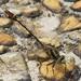 Gomphurus hybridus - Photo (c) Jim Johnson, osa oikeuksista pidätetään (CC BY-NC-ND)