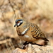 Spinifex Pigeon - Photo (c) Graham Winterflood, some rights reserved (CC BY-SA)