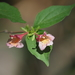 Diabelia spathulata - Photo (c) Keita Watanabe, algunos derechos reservados (CC BY-NC)